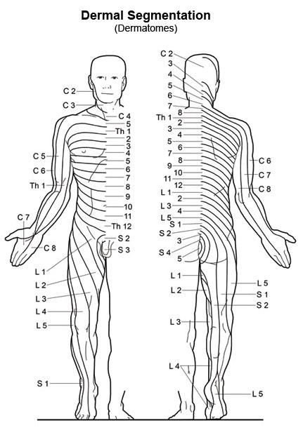 The Pelvis moreover Pns reflexes as well Dermatome additionally Nervous System also Human Vertebrae Diagram. on sacral nerve diagram